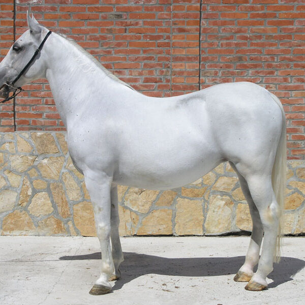 Priplodna kobila 4