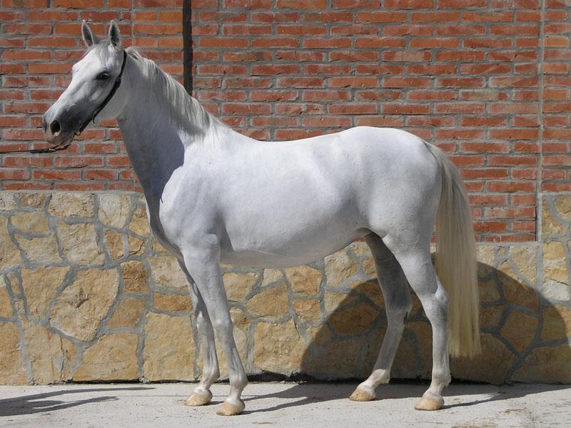 Priplodna kobila 13